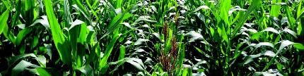 Menangkar benih jagung bikin untung