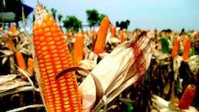 Upaya solutif memenuhi pasokan jagung pakan