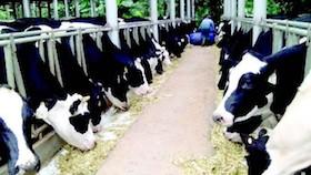 Kiat sukses produksi susu premium