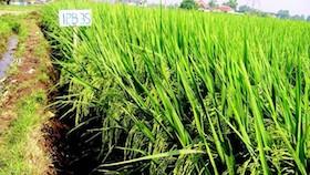 Teknologi budidaya padi sesuai varietas