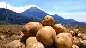 Kentang: Bisnis kentang masih menantang
