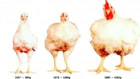 Mengapa ayam modern cepat bongsor?