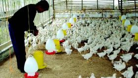 Performa lebih apik tanpa antibiotik
