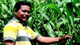 Berharap tetap untung menanam jagung