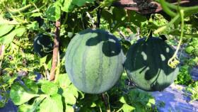 Semangka: Kiat menghasilkan semangka premium
