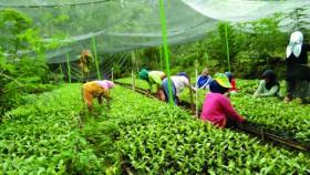 Menumbuhkan produsen benih perkebunan melalui Desa Mandiri Benih
