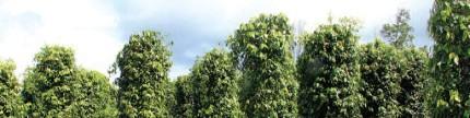 Dukungan perlindungan perkebunan dalam meningkatkan produktivitas lada