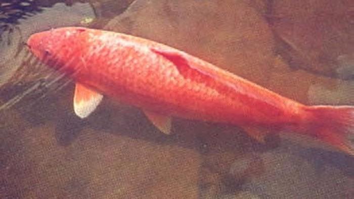 Fakta Umur Ikan Koi dari Berbagai Dunia!