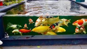 Pentingnya menjaga kualitas air kolam koi