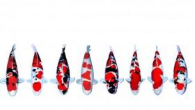 Menilai kualitas pola & warna koi