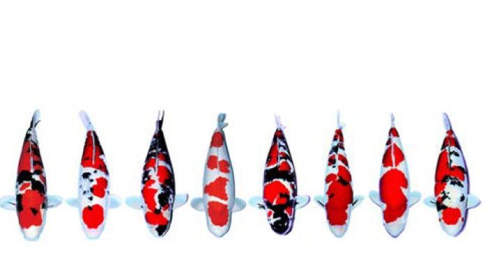Bagaimana Pola Ikan Koi Kamu?