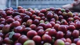 "Kopi Gunung Puntang, kopi ""Kampung"" harga menantang"