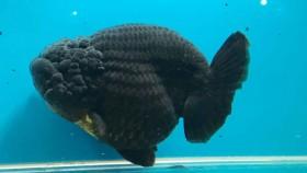 Ikan maskoki yang jadi primadona