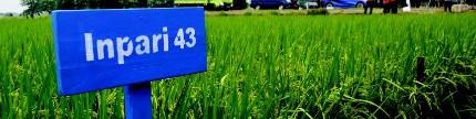 Inilah varietas padi spesifik lokasi