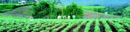 Menengok sentra kentang di Pangalengan
