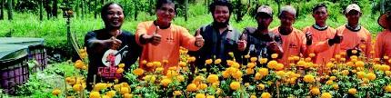 Marigold, bunga tai ayam penghasil emas