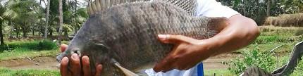 Bisnis pembenihan ikan prospektif