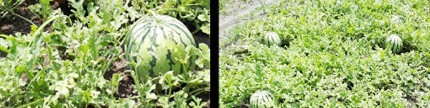Panen semangka di Kepulauan Seribu