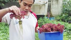 Budidaya selada merah hidroponik untuk persiapan pensiun