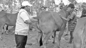 Pelayanan IB di wilayah pengembangan sapi potong