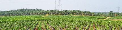 Replanting, momentum perbaikan kebun sawit rakyat