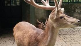 Daging rusa, alternatif pangan sumber protein hewani