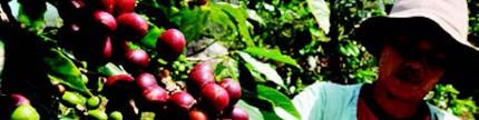 Pengembangan komoditas kopi rakyat agar berdaya saing