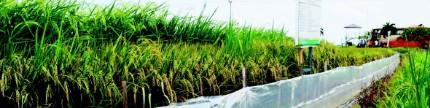 Menjaga produksi padi saat musim kemarau