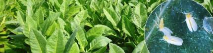 Mencegah hama kutu kebul pada tembakau