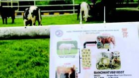 UPT dab Polbangtan diminta ikut kembangkan sapi Belgian blue