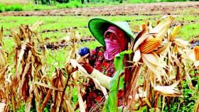 Petani kian berminat tanam jagung hibrida Balitbangtan