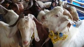Bawa berkah jual kambing kurban seharga rp 1
